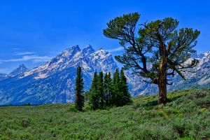Patriarch Tree in Grand Teton National Park