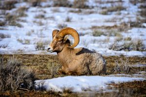 Bighorn-Sheep.jpg