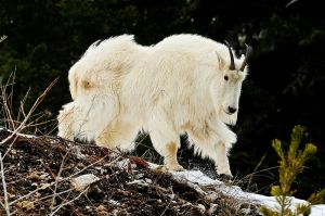 Majestic-Mountain-Goat.jpg