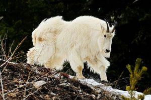 Majestic-Mountain-Goat.jpg