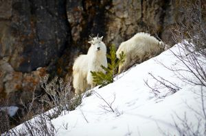 Teton-mountain-goat.jpg