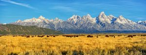 Bison Beneath the Tetons Panorama
